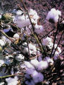 Image of cotton on plant.