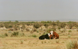 Image of cattle resting on ranch.